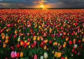 Fanfan la tulippe !