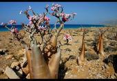 Flore de l'ile Socotra