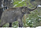 Elephant decouvrant la neige