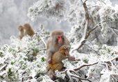 Macaques Wuling yuan