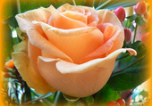 Rose de teinte claire