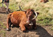 Vache race alers