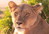 Regard de lionne