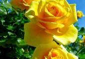 reine des fleurs.