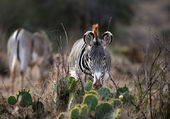 le zebre de Grevy