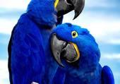 Perroquets bleu !