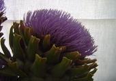 fleur d'atichaut