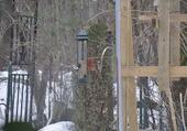 Puzzle Bel oiseau Le Cardinal au Canada