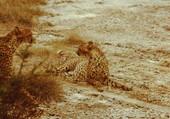 Couple de guépards au Kenya