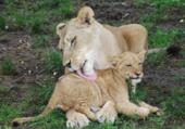 Puzzle Amour maternel Zoo de Buffalo USA