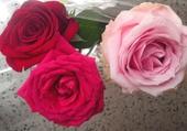 roses st valentin