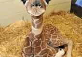 Puzzle bébé girafe