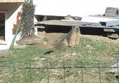 Puzzle Marmote