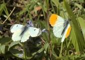 Puzzle Papillons AURORE