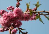 Puzzle Prunus