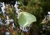 papillon sur romarin