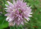 fleur d'aïl sauvage en gironde