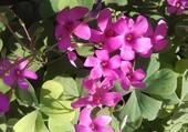 Puzzle Fleurs de trèfle