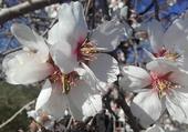 Puzzle Jolies fleurs d'amandier