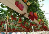 Vive les fraises