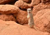 Mangouste suricate
