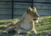 Puzzle une Lionne