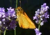 Puzzle papillon qui butine une fleur