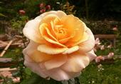 rose Chimène