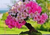 Bonzai en fleur