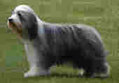 Mon Bearded collie dechester