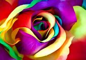 une rose virtuelle