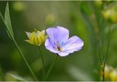 Fleur de lin bleue