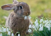 Puzzle Jeannot lapin aime les perce neiges