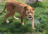 La lionne attend son repas