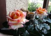 le rosier sur mon balcon