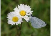 Paquerettes et papillon