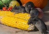 A nous le maïs