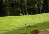 Canard en promenade à premilhat