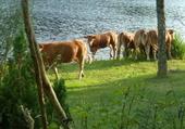 vache sur le lac de vassivière