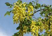 Cytise en fleurs