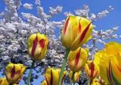 Tulipes et ciel bleu