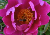abeille buttinant ma pivoine