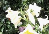 lys blancs