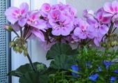 Géranium et LObélia bleu en jardinière