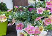 Calibrachoa bicolore fleur double