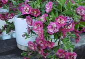 Calibrachoa double rose