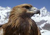 Puzzle Golden Eagle