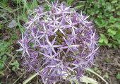 ail décorative en fleur