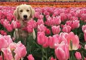 Dans un champs de tulipes