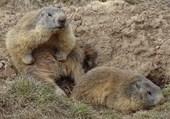 Les marmottes du Mercantour